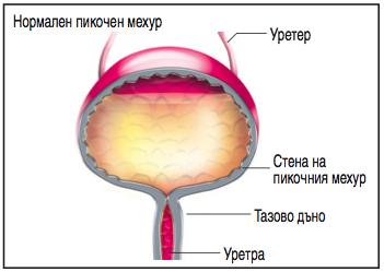 Анатомия на пикочния мехур при жената