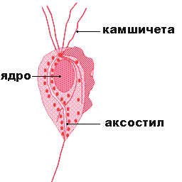 Трихомонас вагиналис