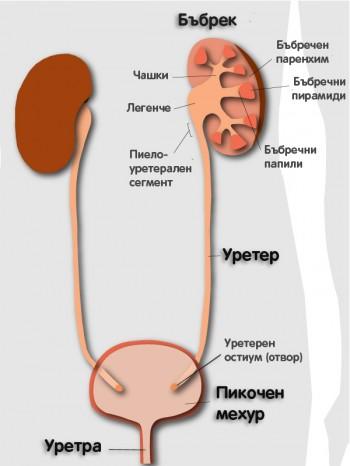 Анатомия на пикочната система