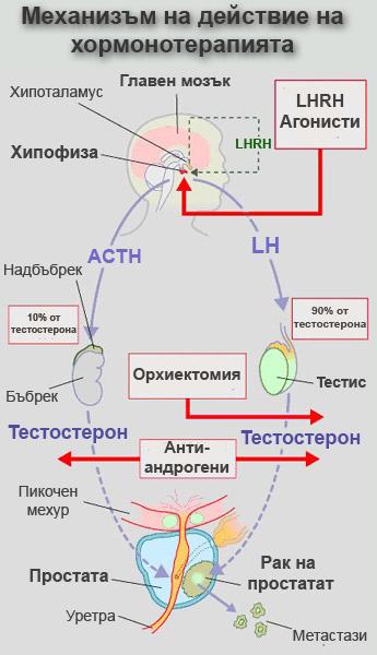 Механизми на хормонална терапия