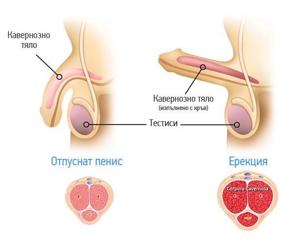 erekcia-mehanizum-penis